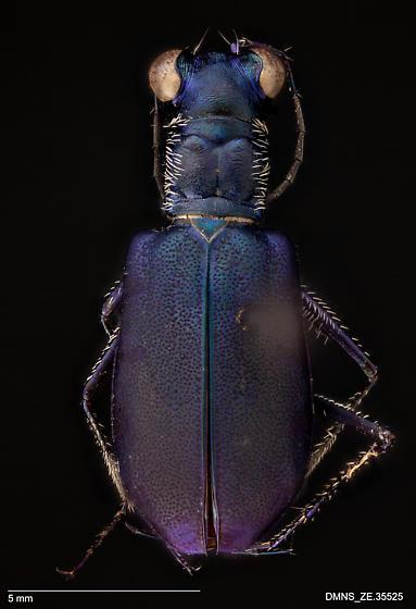 ZE.35525_Cicindela_rufiventris_cumatilis - Cicindelidia rufiventris - female