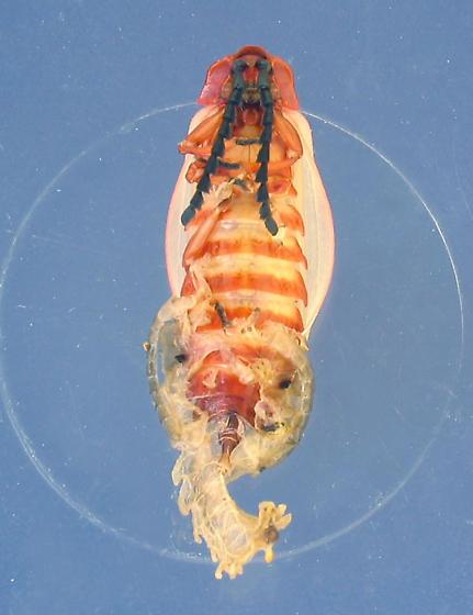 Lycid emerges - Lycus sanguineus