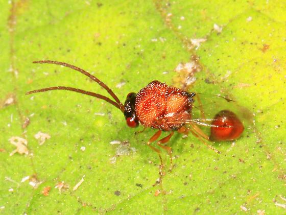 tiny wasp - Obeza floridana