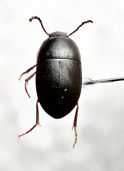Small Tenebrionid ? - Gondwanocrypticus obsoletus