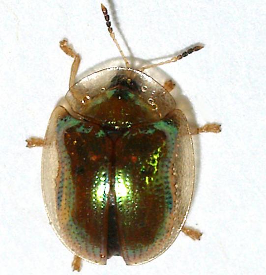 Small metallic green - Charidotella succinea