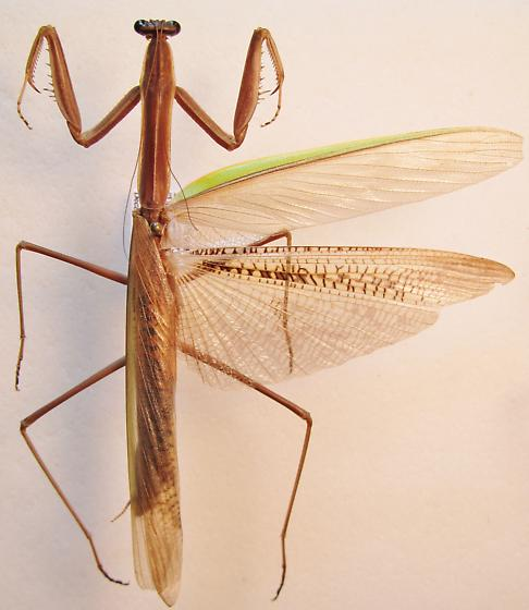 Tenodera angustipennis - male