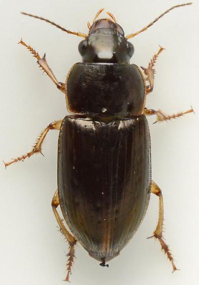 926C09 - Selenophorus palliatus