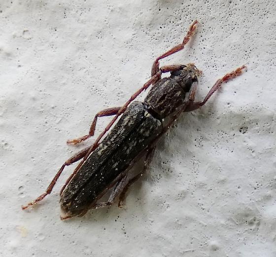 Longhorn Beetle - Anelaphus