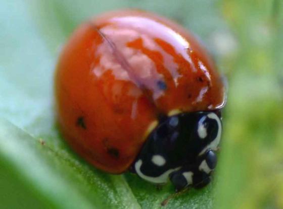 Cycloneda sanguinea (female)? - Cycloneda sanguinea - female