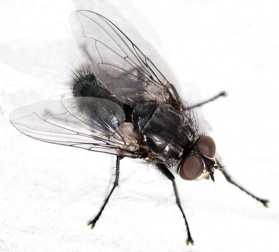 blow fly - Bellardia vulgaris - male