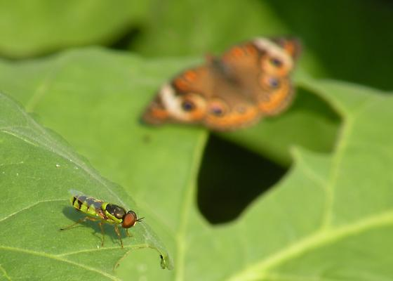 syrphid, not buckeye - Odontomyia cincta