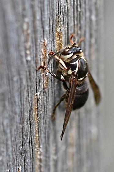 Wasp - Dolichovespula maculata - female