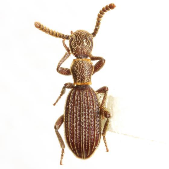 Araeoschizus sp. ? decipiens Horn - Araeoschizus