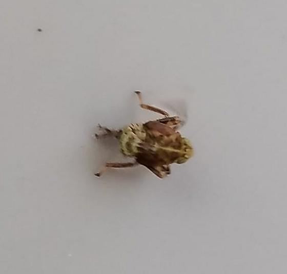 Unknown bug identification - BugGuide Net