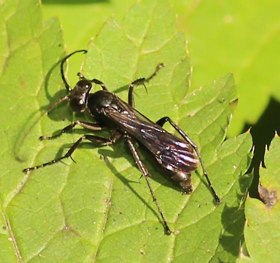 Wasp? - Anoplius