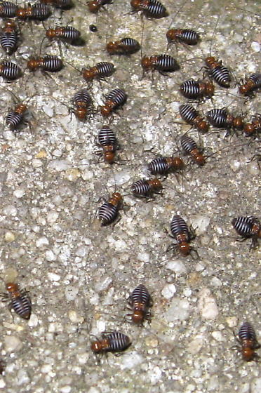 A cluster of very tiny brownish bugs  with red heads and striped bodies   that. A cluster of very tiny brownish bugs  with red heads and striped
