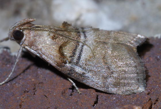 Brown moth with black and white bands - Pococera militella