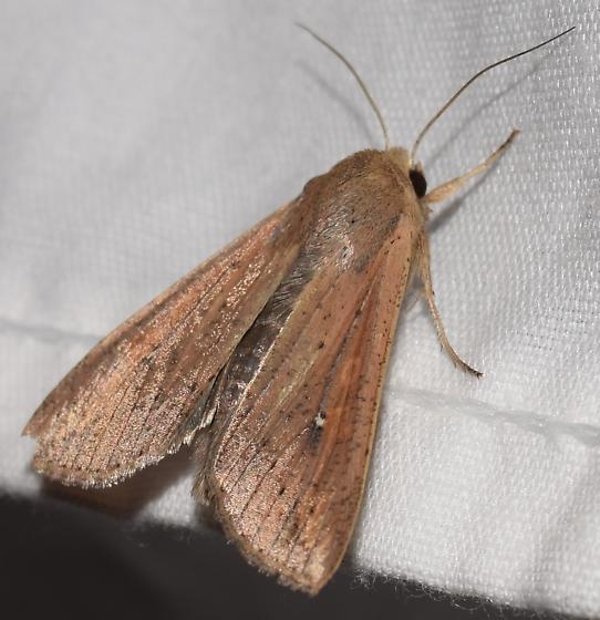 Beautiful moth - Mythimna unipuncta