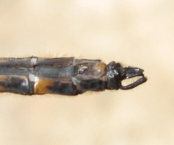 Helocordulia uhleri - male