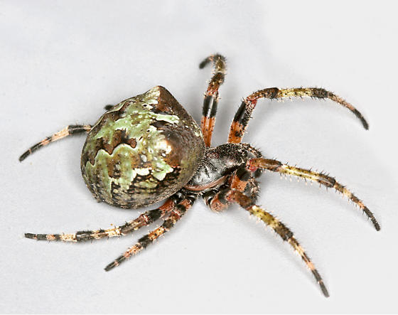 BG1255 D0066 - Araneus bicentenarius - female