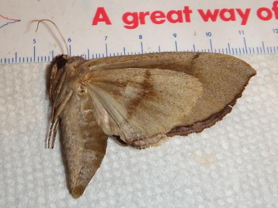 Notodontid species - Crinodes biedermani - female