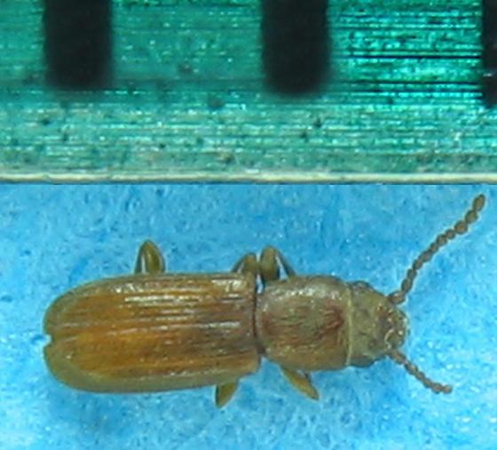 Tiny Laemophloeid? - Cryptolestes ferrugineus