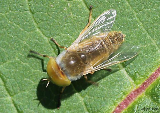 fly - Atylotus