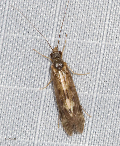 Caddisfly at lights