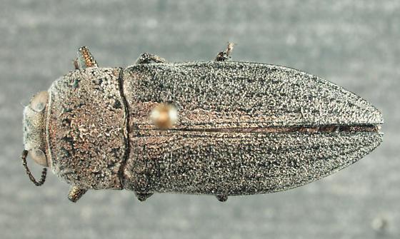 Gyascutus pacificus - female