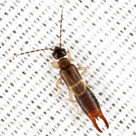 Earwig - Labia minor - male