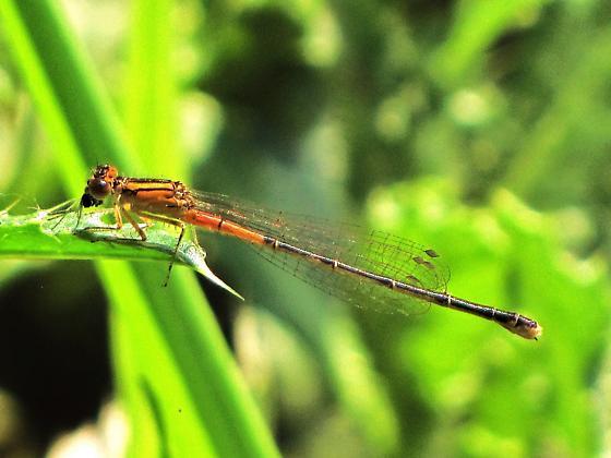 Eastern forktail - female immature - Ischnura verticalis - female