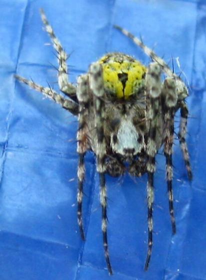 Wolf spider?  - Eustala anastera - male