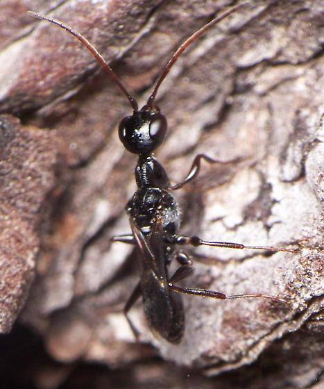 Cockroach Wasp? - Ampulex canaliculata