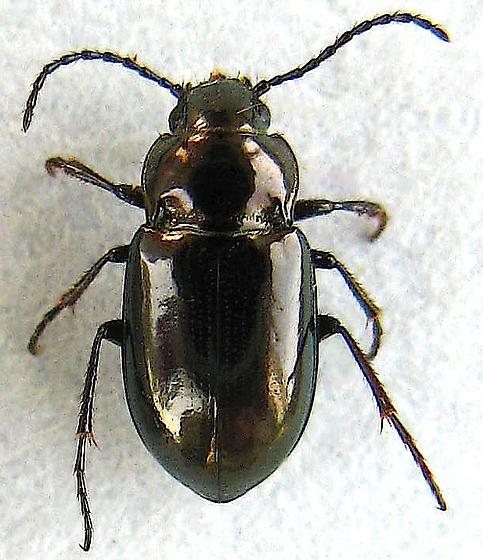 False Ground Beetle - Trachypachus inermis