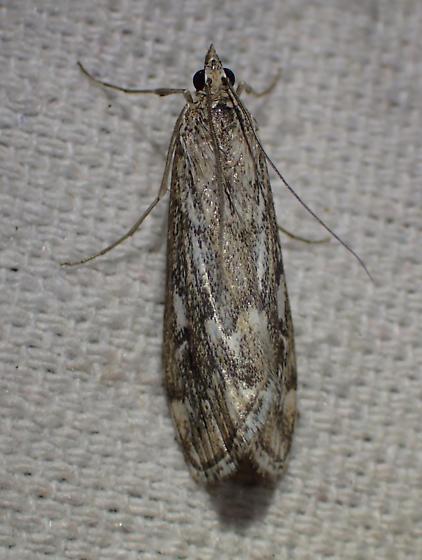Moth - Loxostege indentalis