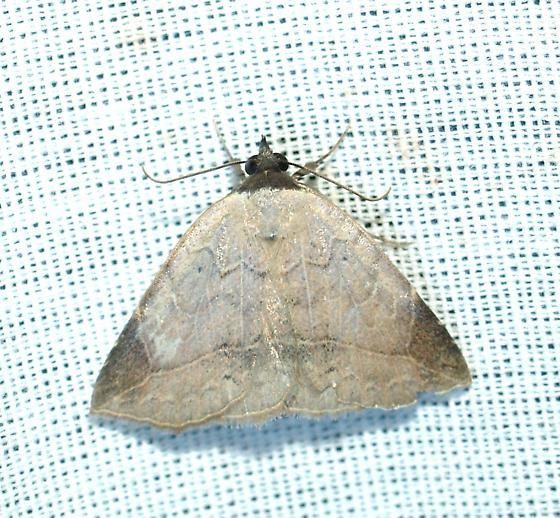 Moth - Isogona segura