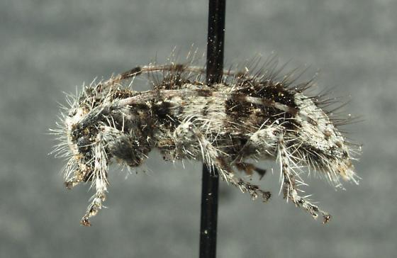 Poliaenus oregonus (LeConte, 1861) - Poliaenus oregonus