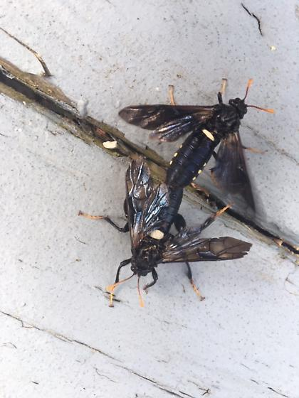 Wood Wasps? - Cimbex americanus - male - female