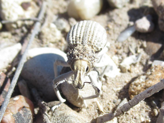 Ghosty broad-nosed weevil - Ophryastes