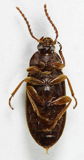 Comb-clawed Beetle...