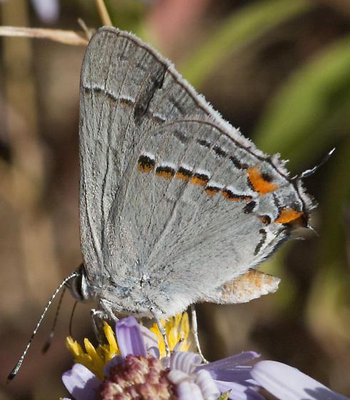 Nice Hairstreak from the top - Strymon melinus - male