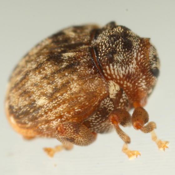 Leaf-mining ceutorhynchine - Orchestomerus eisemani