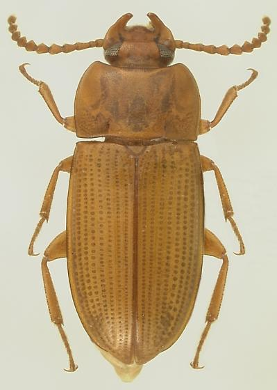 Sitophagus hololeptoides (Laporte) - Sitophagus hololeptoides - male