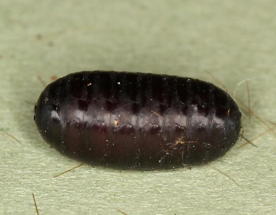 Chrysalis 2 - Compsilura concinnata