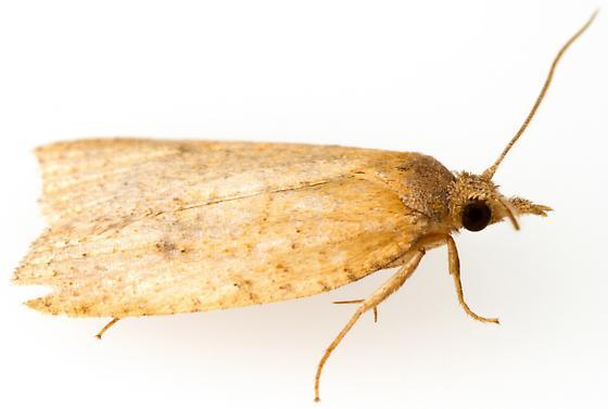 Sparganothoides machimiana? - Sparganothoides machimiana