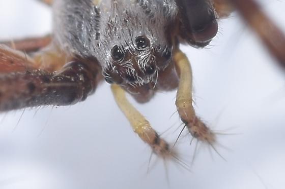 Spider - Argiope argentata - female