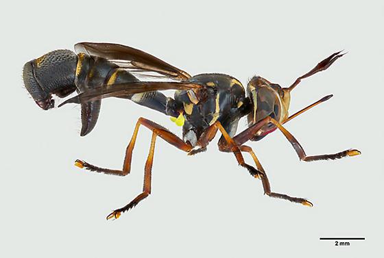 Pyrgotidae Fly? - Physoconops