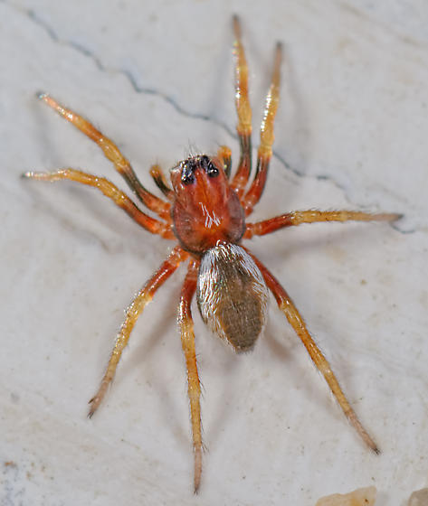 mystery spider - Geolycosa