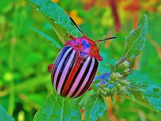 Id help needed - beetle - Leptinotarsa juncta