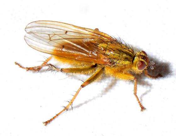 possible Scathophaga stercoraria - Scathophaga stercoraria
