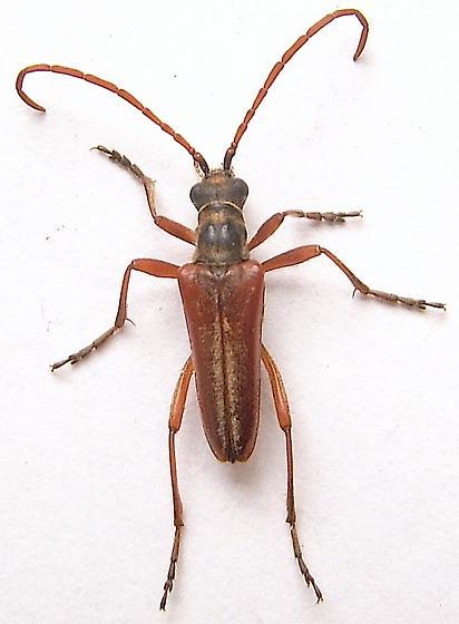 Flower Longhorned Beetle - Stenocorus vestitus