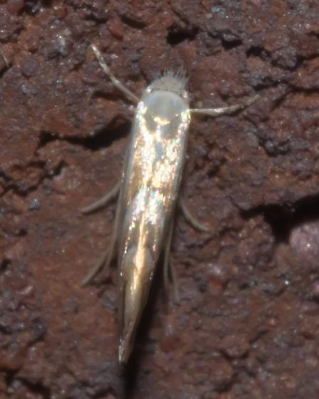 Small tan and white moth - Phyllonorycter