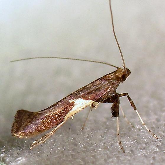 Caloptilia sp. II - Caloptilia
