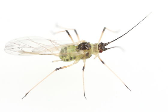 Aphid - Hyperomyzus lactucae